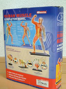 HUMAN_MUSCLE_02