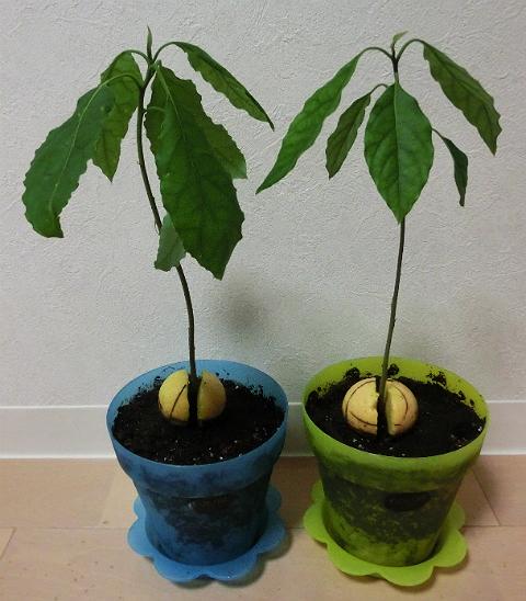 アボカド 鉢に植え替え