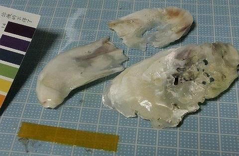 牡蠣殻 投入から1年経過
