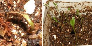 おーいお茶 玄米茶 野菜栽培セット その2