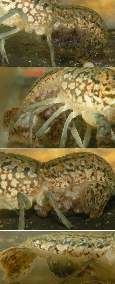 ミステリーザリガニ (ミステリークレイフィッシュ/マーブルクレイフィッシュ) 孵化