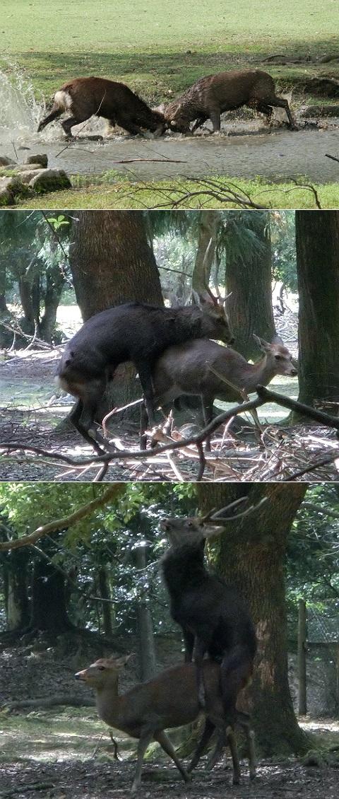 奈良公園の子鹿の仕込み 2014
