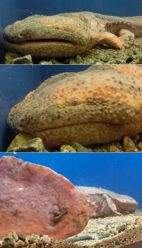 黄色変異個体のオオサンショウウオ @京都水族館