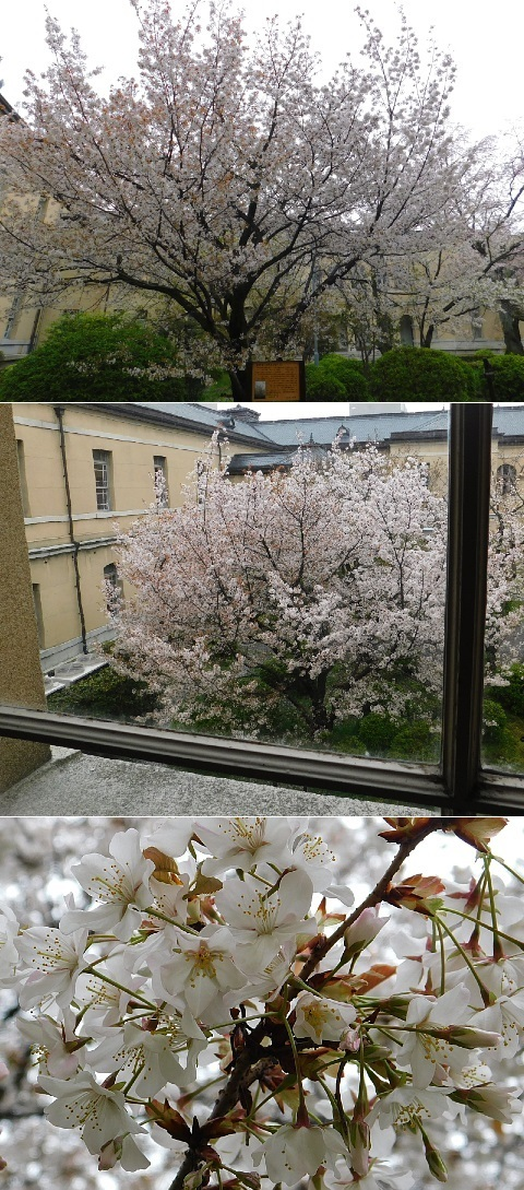 容保桜 2020年 @京都府庁旧本館