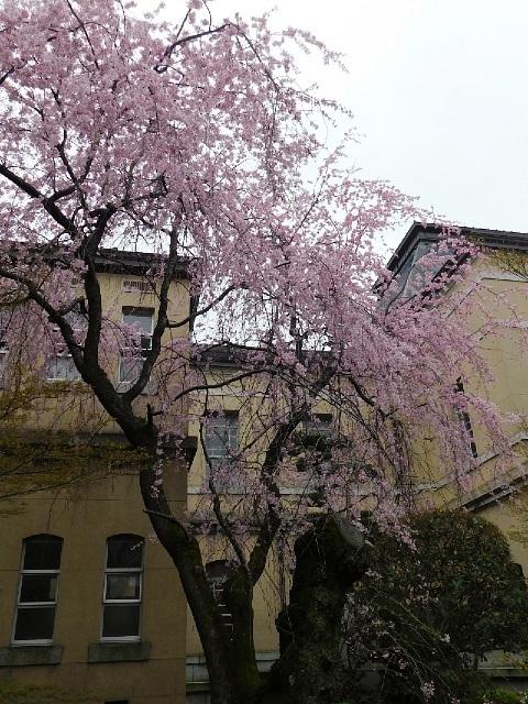 紅一重枝垂桜 2020年 @京都府庁旧本館