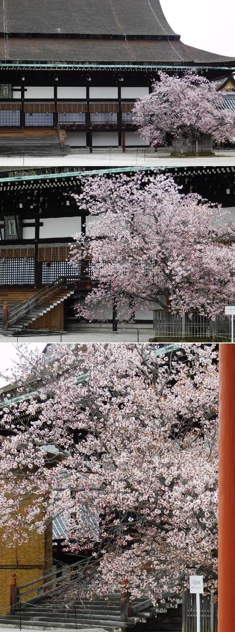 左近の桜 2020年 @京都御所