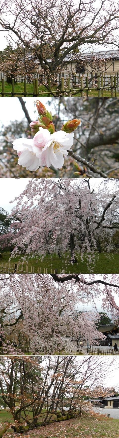 桜 2020年 @京都御苑