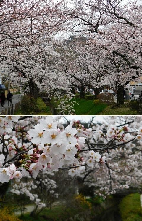 桜 2020年 @哲学の道