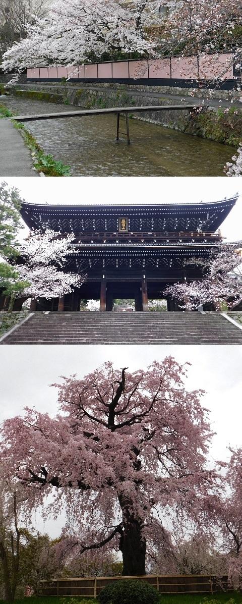 桜 2020年 @知恩院・円山公園